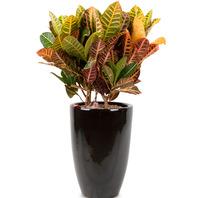 크로톤 공기정화식물